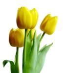 buque-de-noiva-significado-tulipas-blog-eccentric-beauty